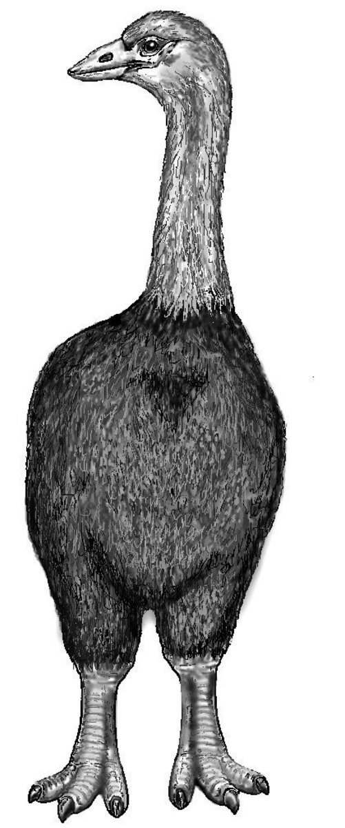 Drawing of Aepyornis maximus - the largest off the Elephant bird species