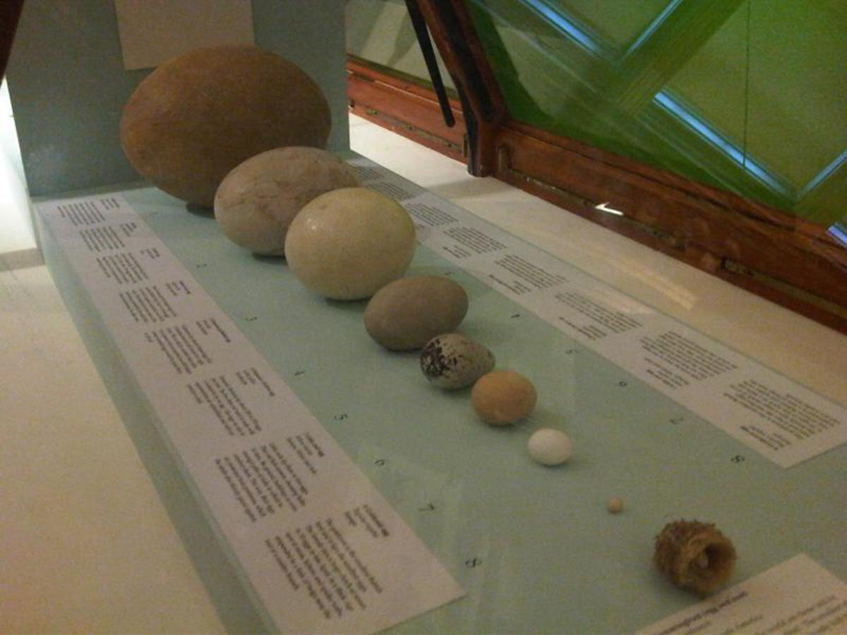 Comparison of Bird Eggs at the Natural History Museum in London including from left to right: Elephant Bird Egg, Moa Egg and then Ostrich Egg