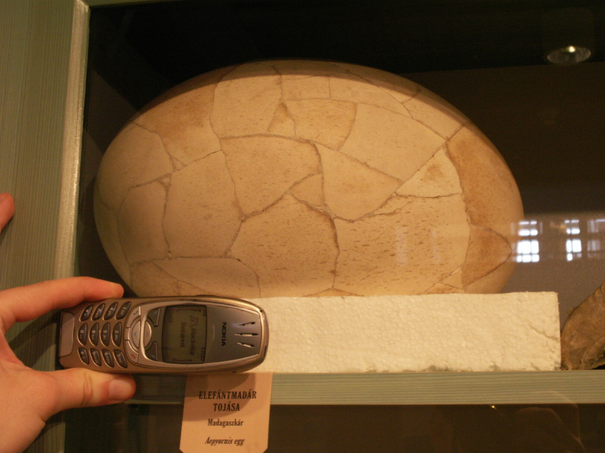 An Elephant Bird Egg at the Hungarian Natural History Museum