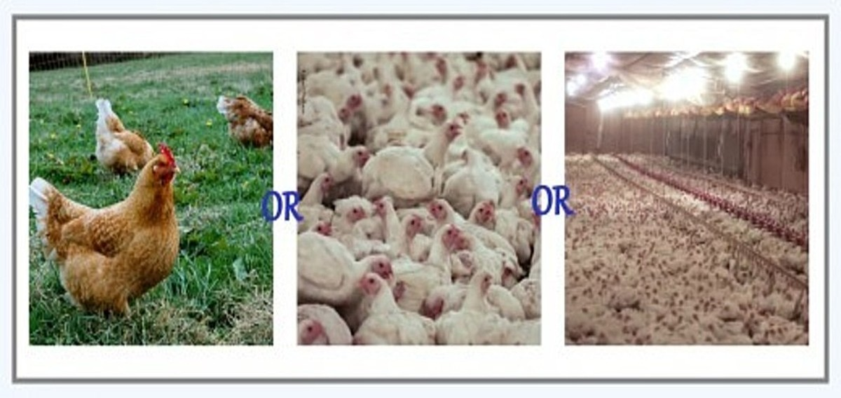 Spotlight on: The Truth About Humanely Raised, Cage-Free Chicken Farms (Perdue and Contractors for Perdue)