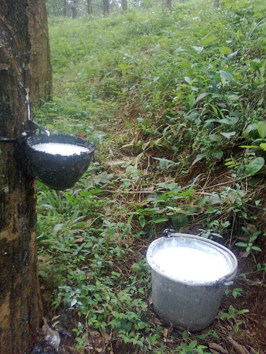 Rubber Tree being Tapped