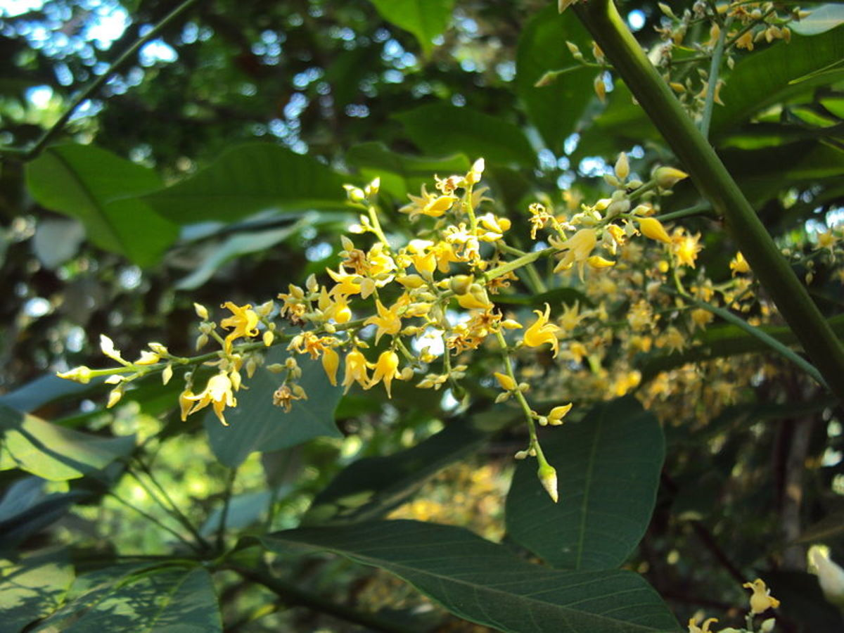 Flowers of Rubber Tree (Hevea brasiliensis)