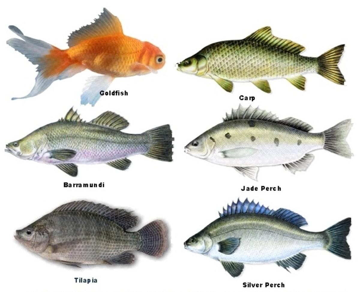 Aquaponic farming in romania for Fish representative species