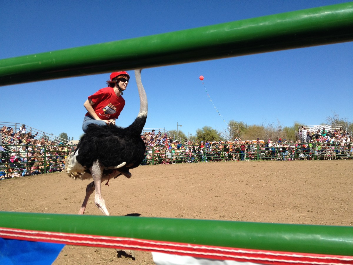 Jockey Holding On To Ostrich Wings as She races Bare Back