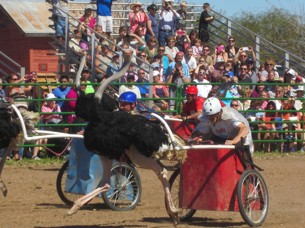 Ostrich Racing Chariot and Rider