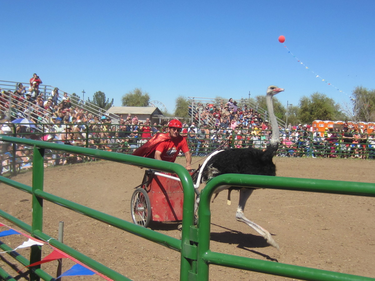 Ostrich Racing at Chandler Arizona's Annual Ostrich Festival