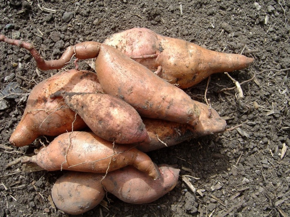 Sweet potatoes, or yams, were an important staple.