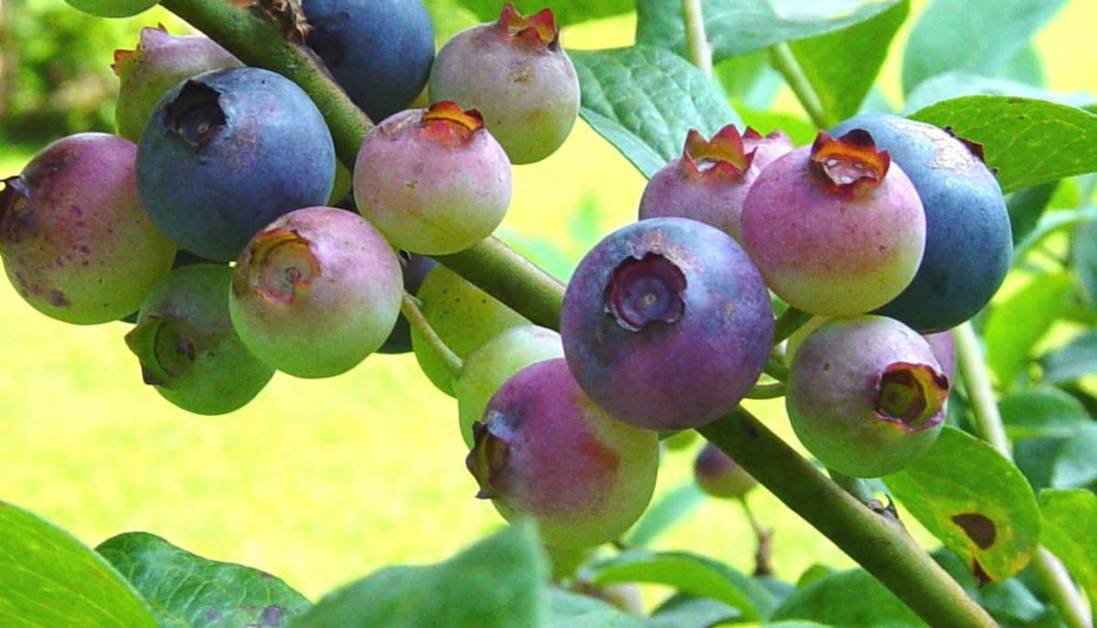 Wild blueberries were often baked into pies and cobblers.