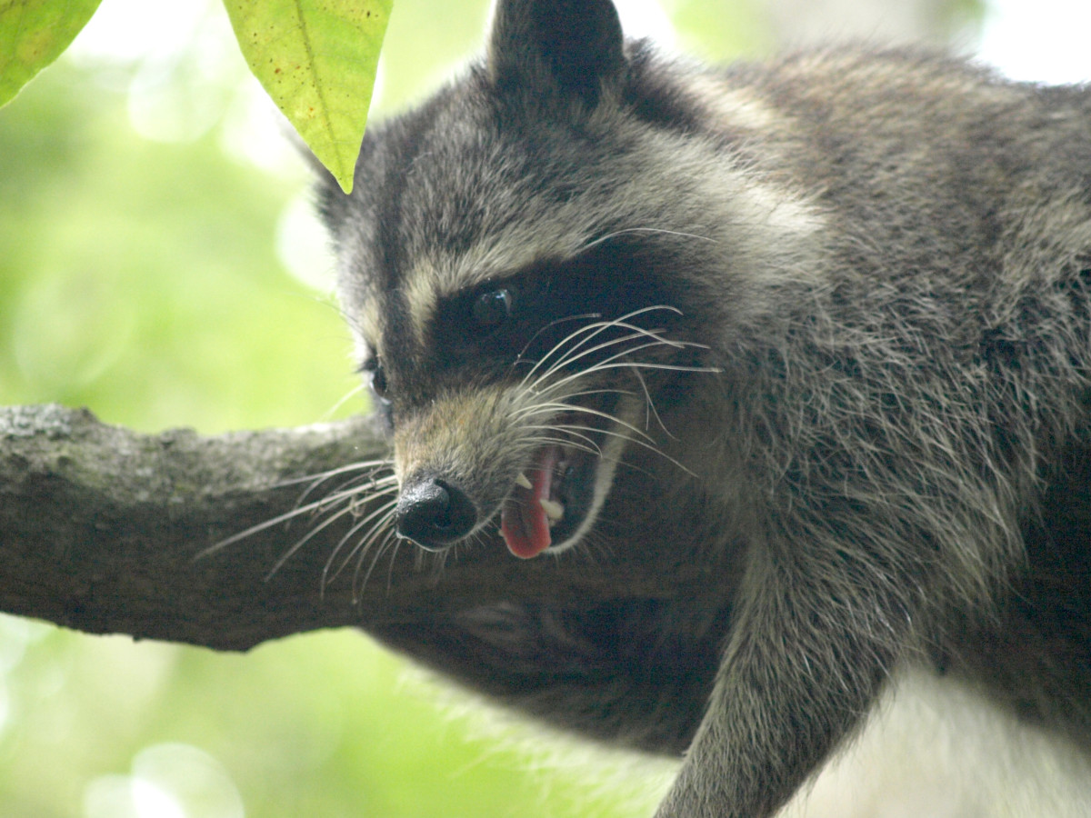 Raccoons and other wild game were hunted and trapped.