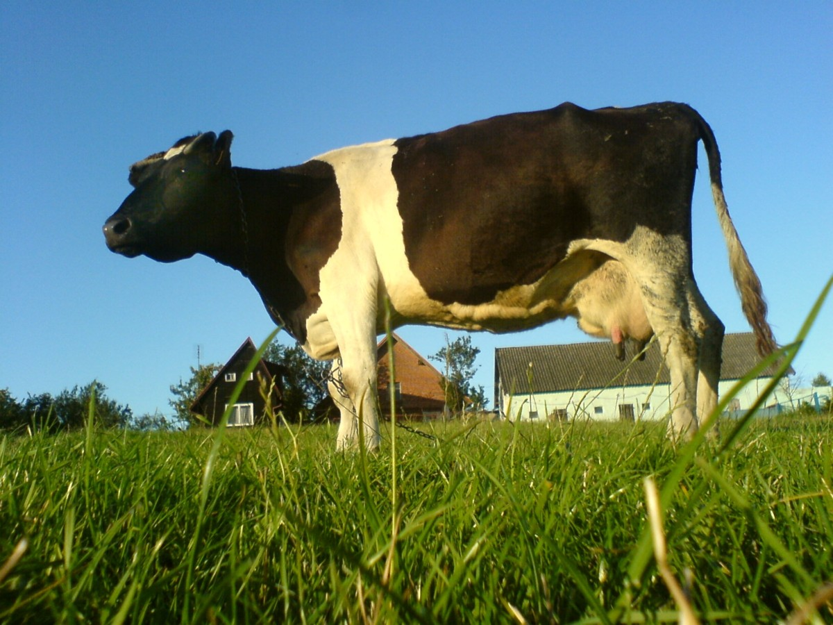 The plantations kept a few dairy cows.