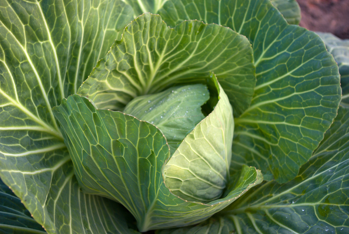 Cabbage and other cool weather crops could be grown in the fall and the early spring.