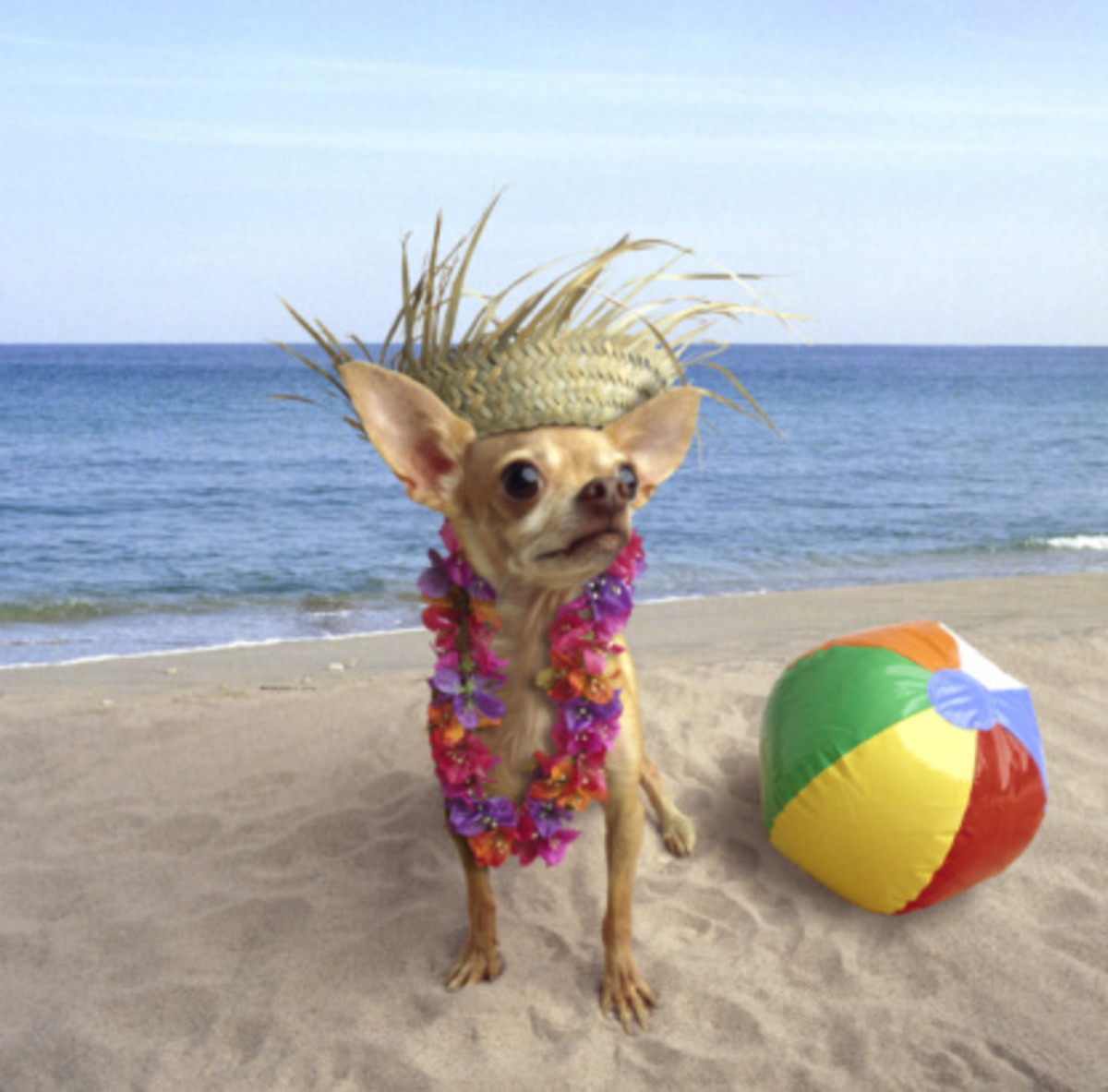 You can have fun dressing up your Chihuahua, but make sure comfort and protection are your number one priority.  Especially when they are outside where their skin can be exposed to harsh UV rays.