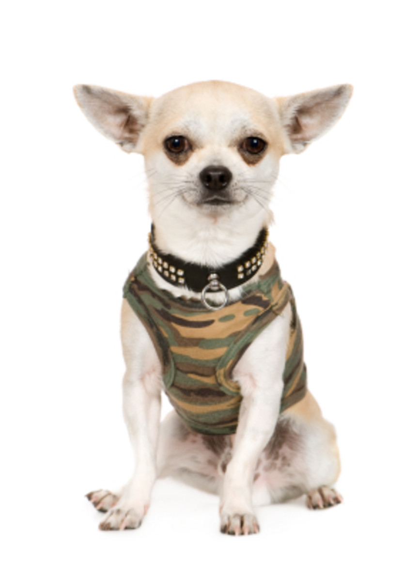 Take your Chihuahua to the store when you get him or her clothes to ensure a proper fit.