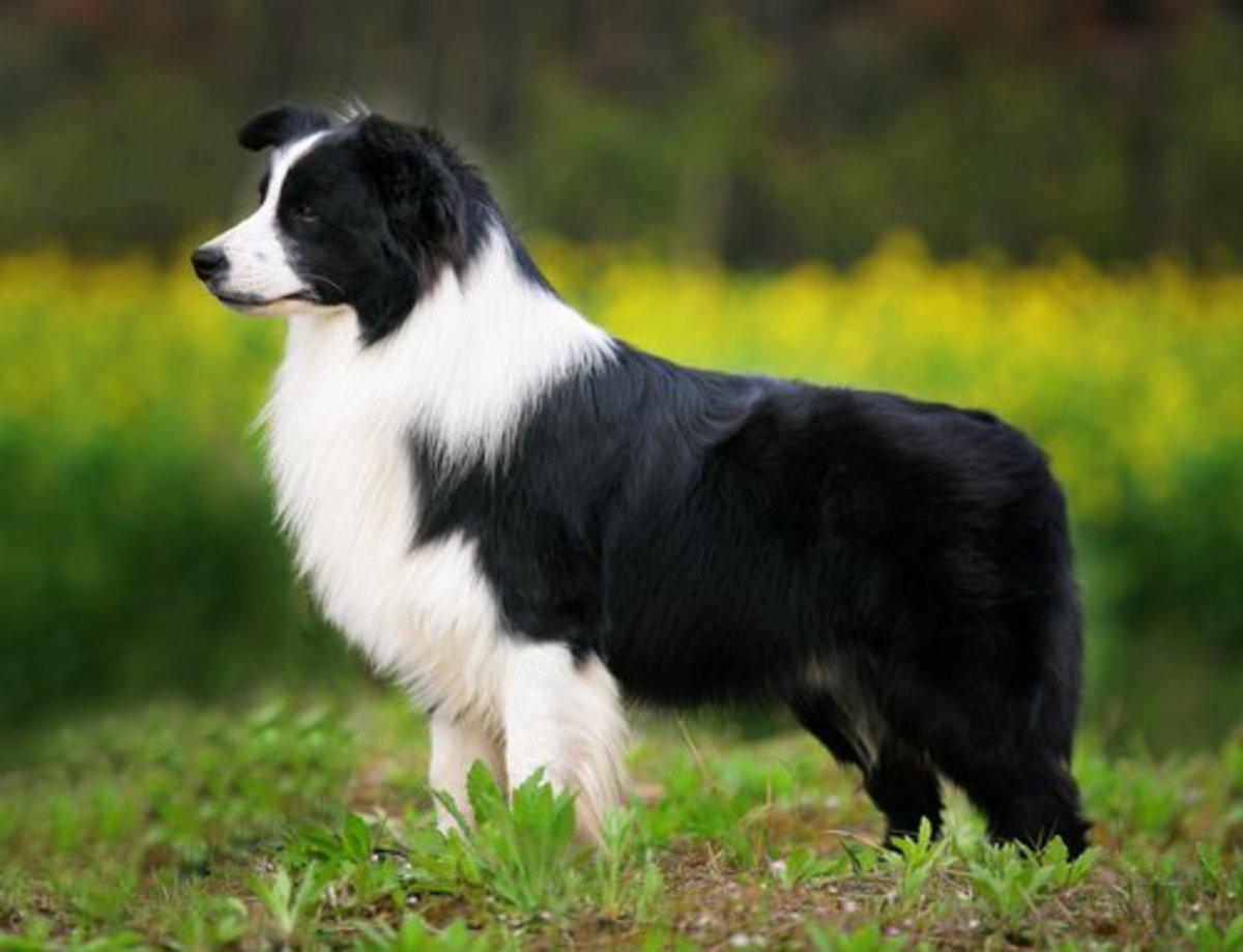Border Collie aka Shepherd dog
