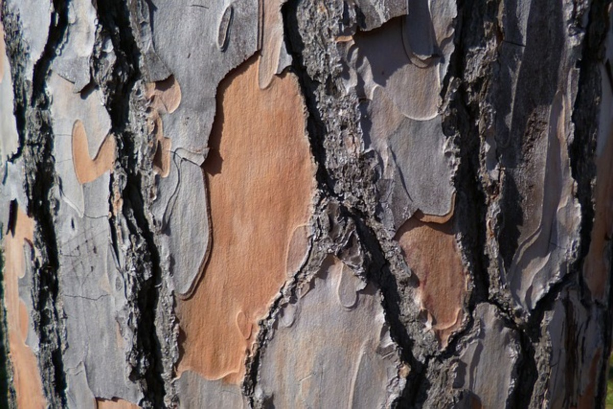 Bark protects soft tissue on a tree's trunk. If too much bark is removed the tree will die.