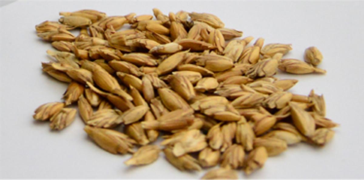 Spelt seeds in husk