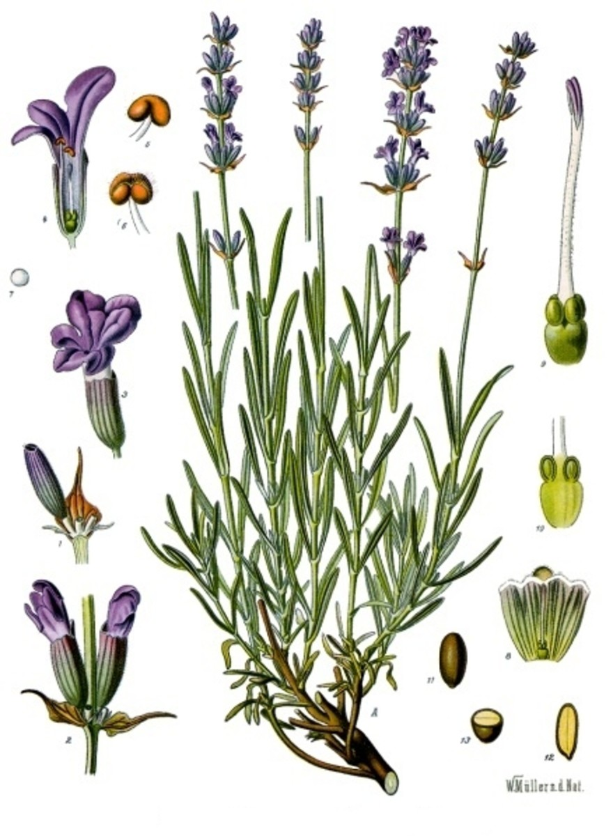 Lavender is useful as it is lovely.