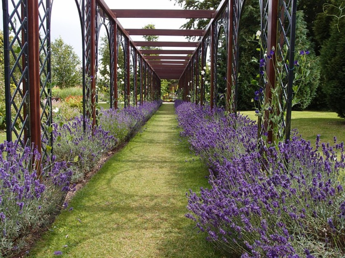 Lavender Makes a great hedge or border.
