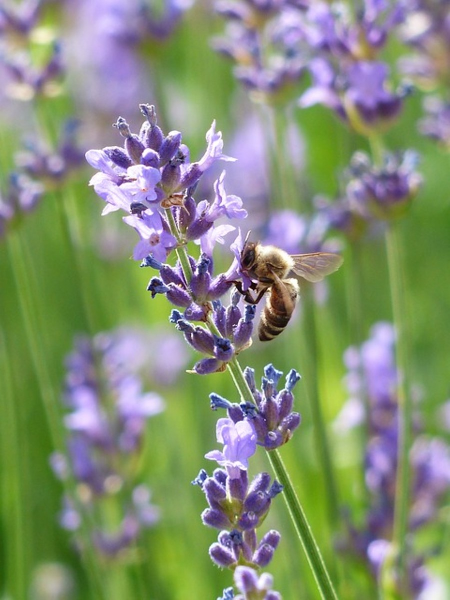 Let's learn about lavender!