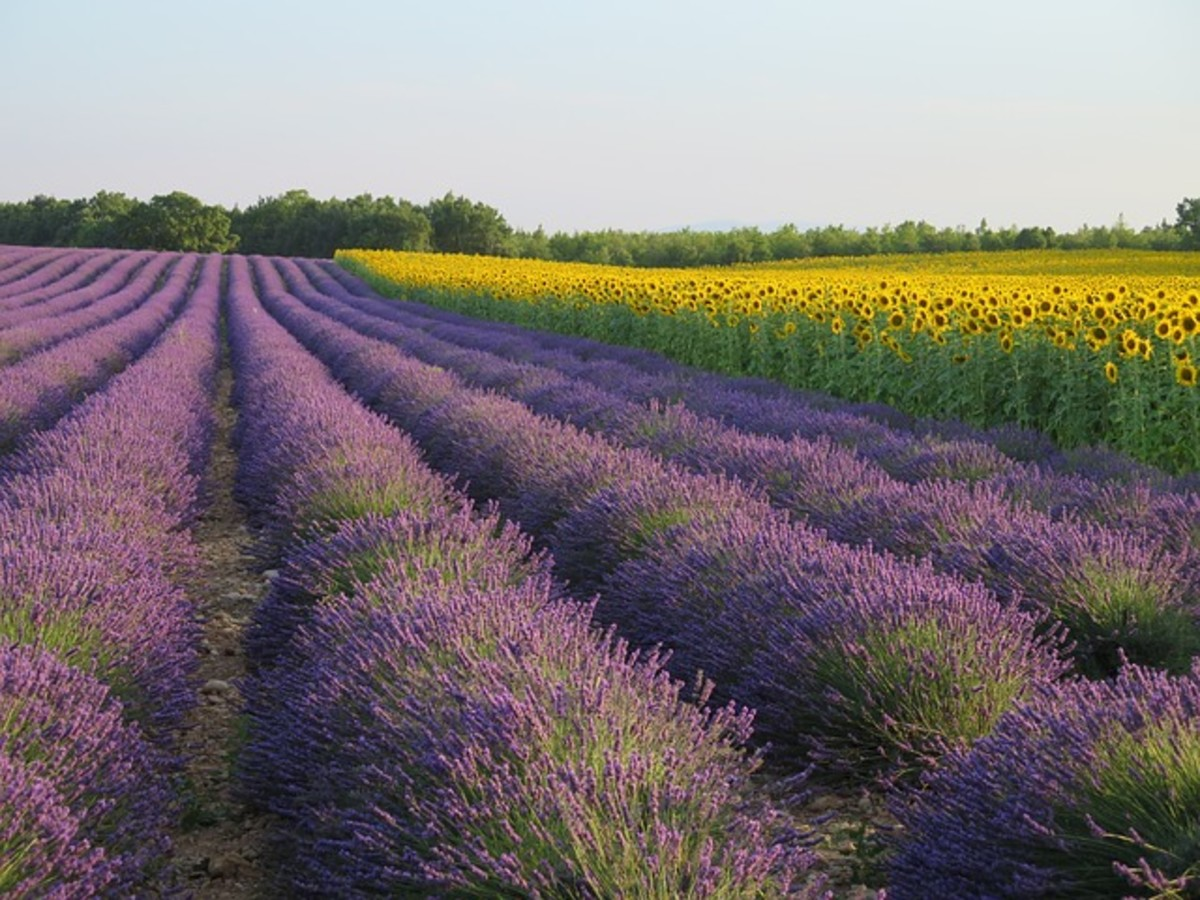 Lessons in Magical Herbalism: Lavender