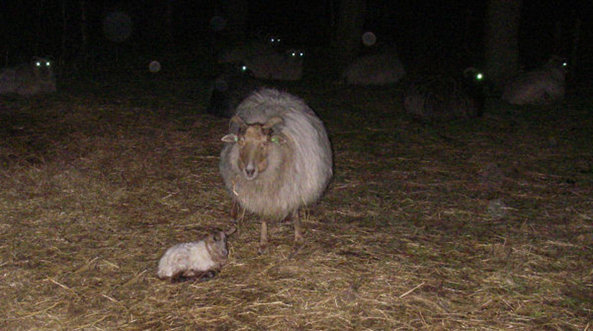 Lamb Smart&Fun's first night outside.