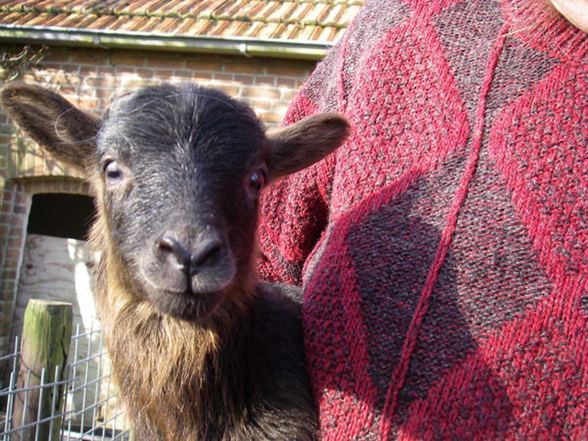 A lamb selfie