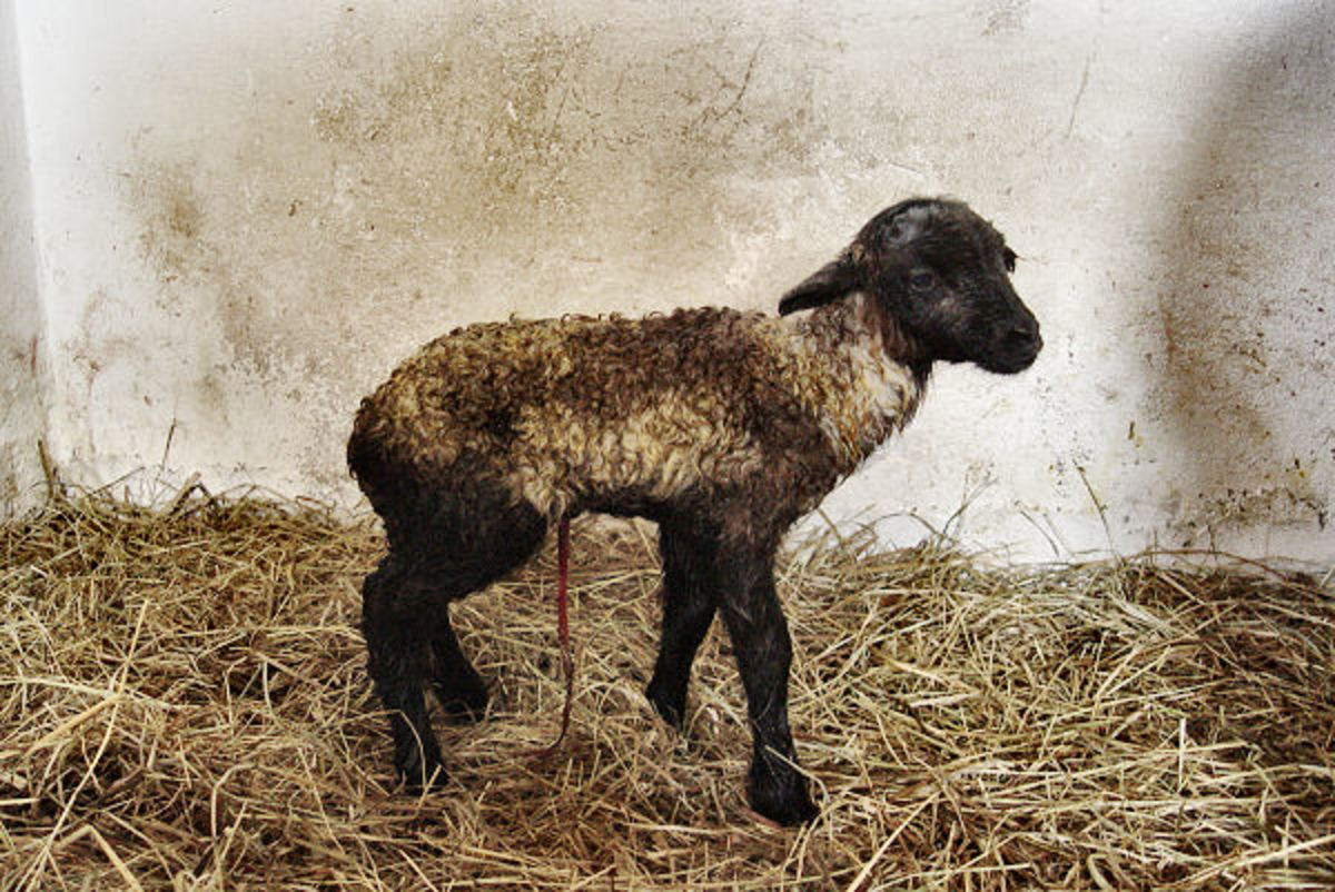 Newborn lamb in the color Badgerface