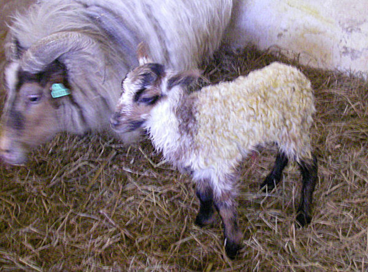 Beautiful badgerface spotted lamb