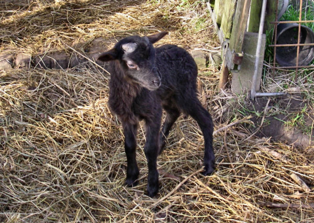 A lovely dark brown male lamb