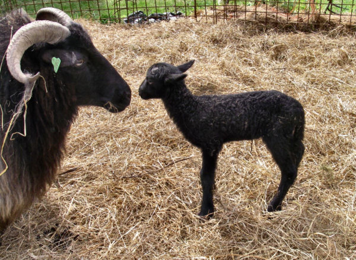 Black ewe with her black lamb