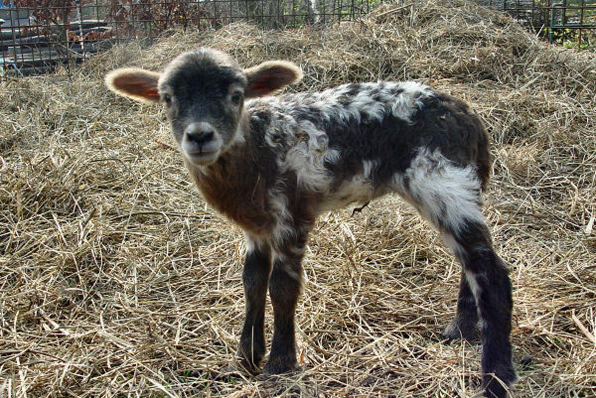 Looks like a Blue Fox colored Drenthe Heath Sheep lamb