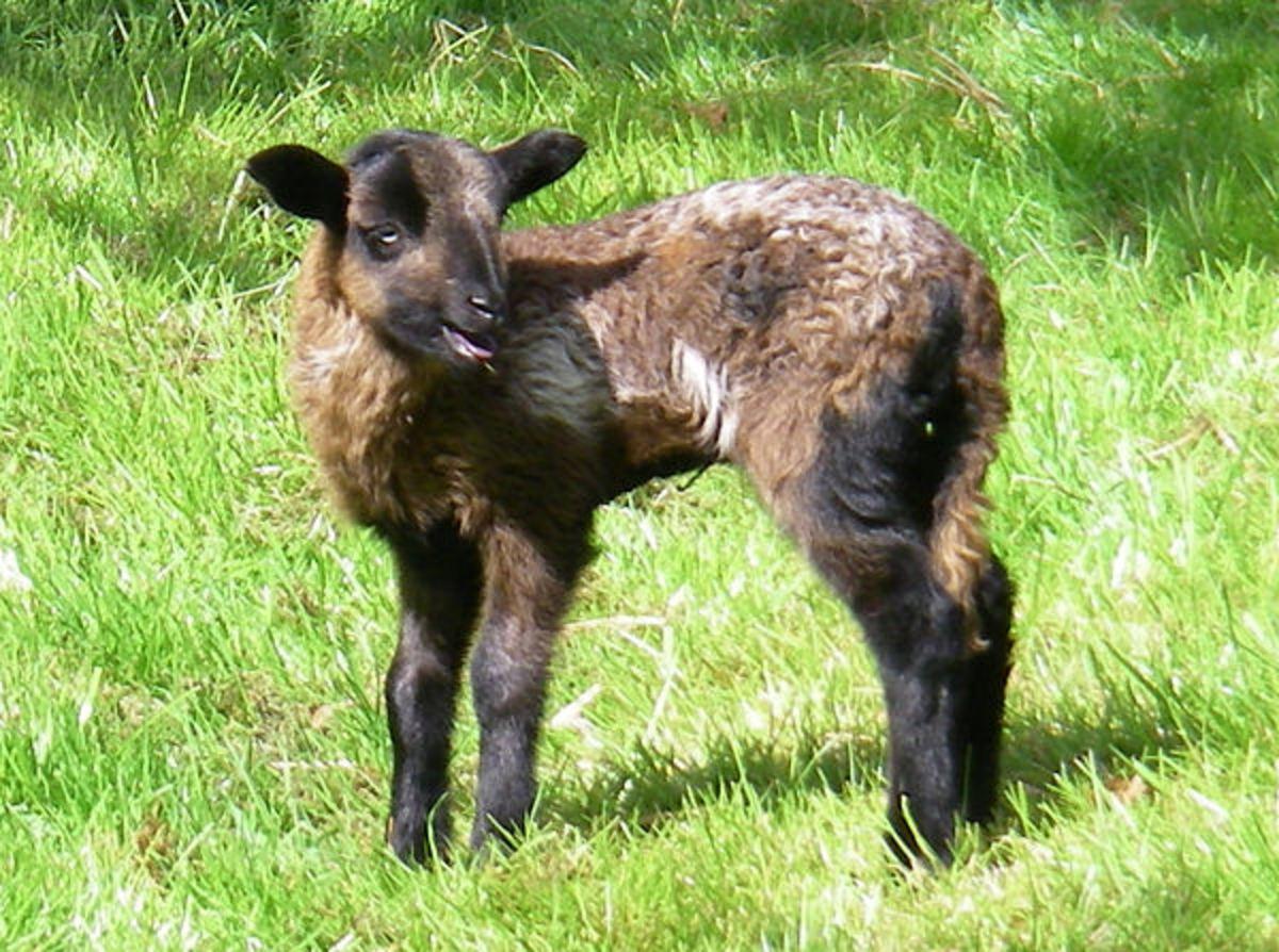 Lamb Lance is calling his siblings