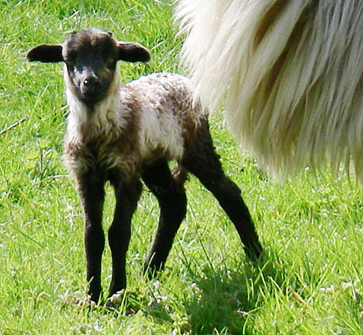 Lamb Ping, 4 days old