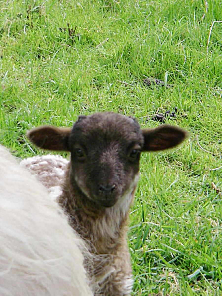 Lamb Brad playing Peek-A-Booh
