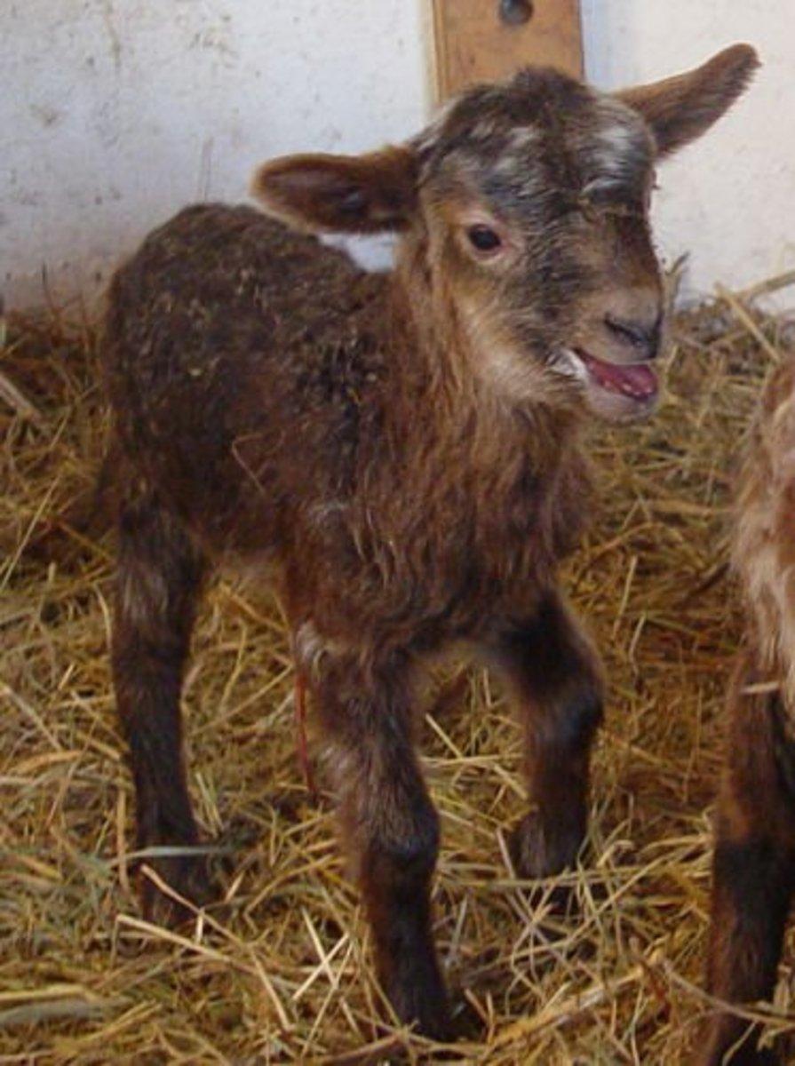 Drenthe Heath Sheep Mixed Fox color