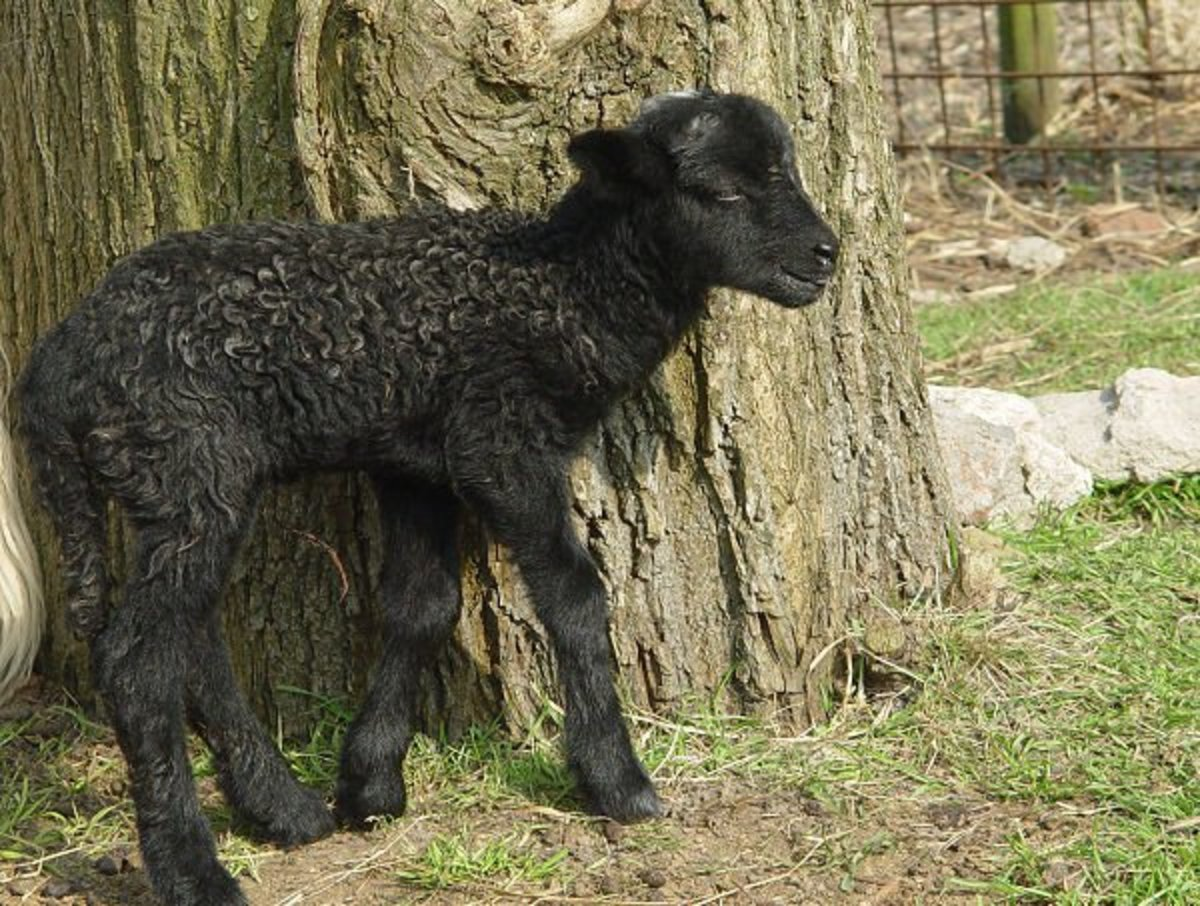 2015: the first black male lamb