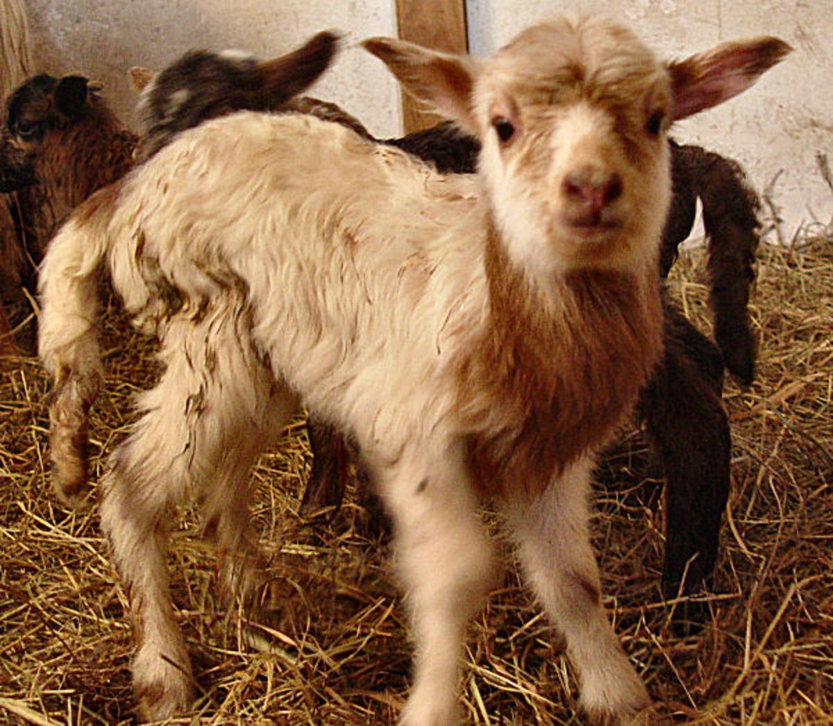 Fox spotted newborn lamb