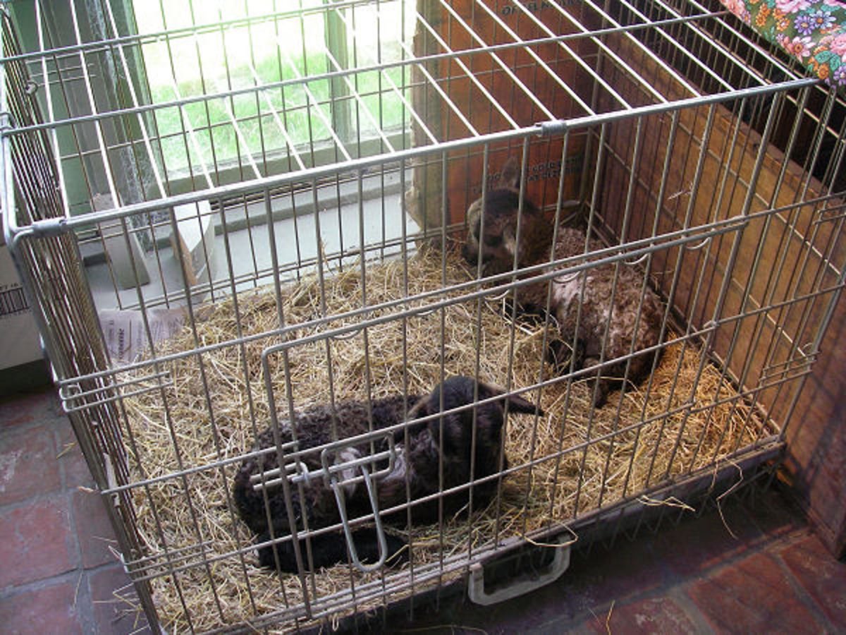 Twin badgerface lambs