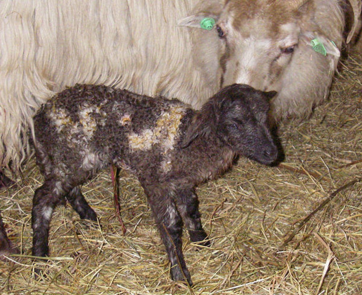 Drenthe Heathe Sheep lamb in the Mixed Fox color.