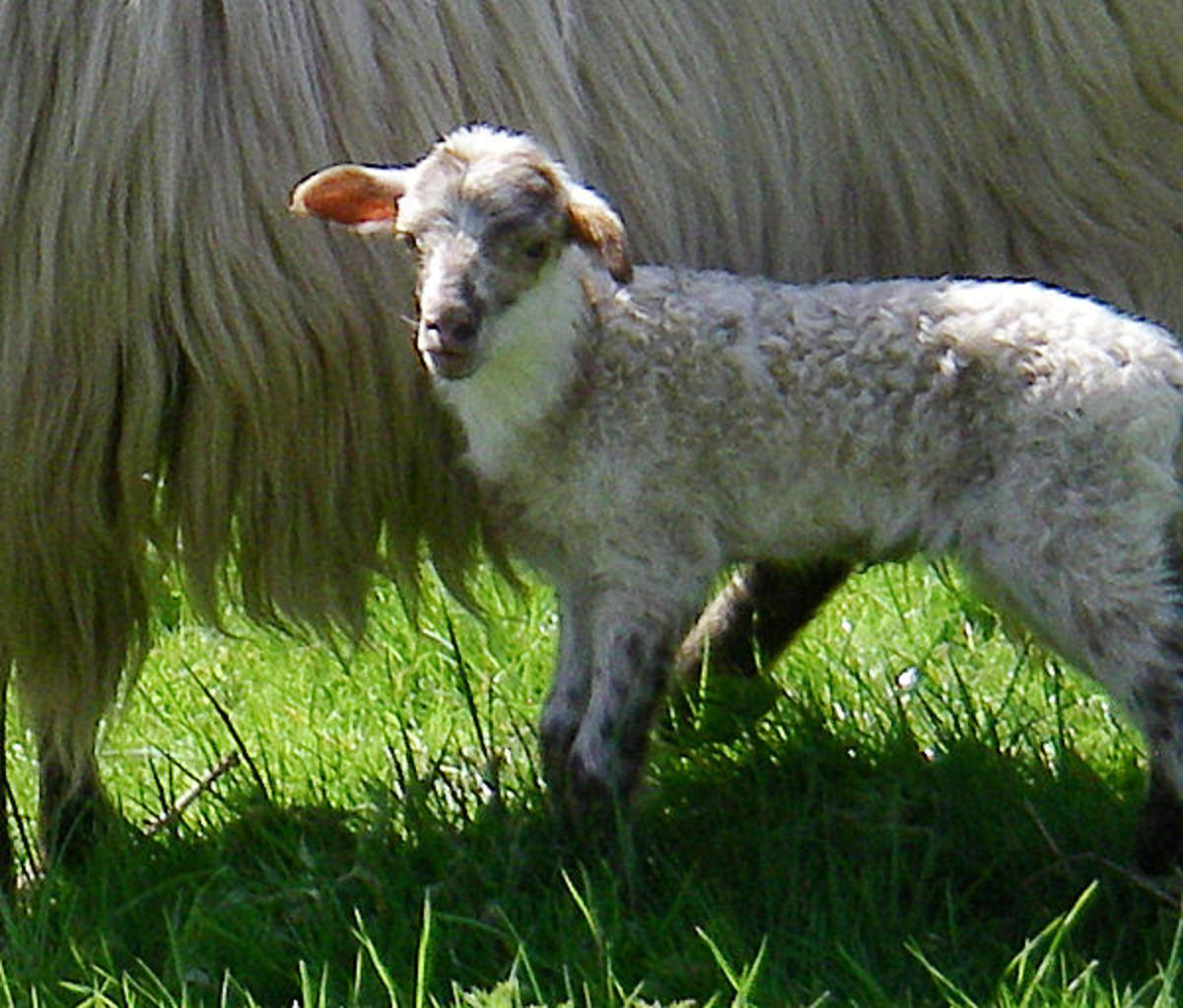 Lamb Psyche, 4 days old