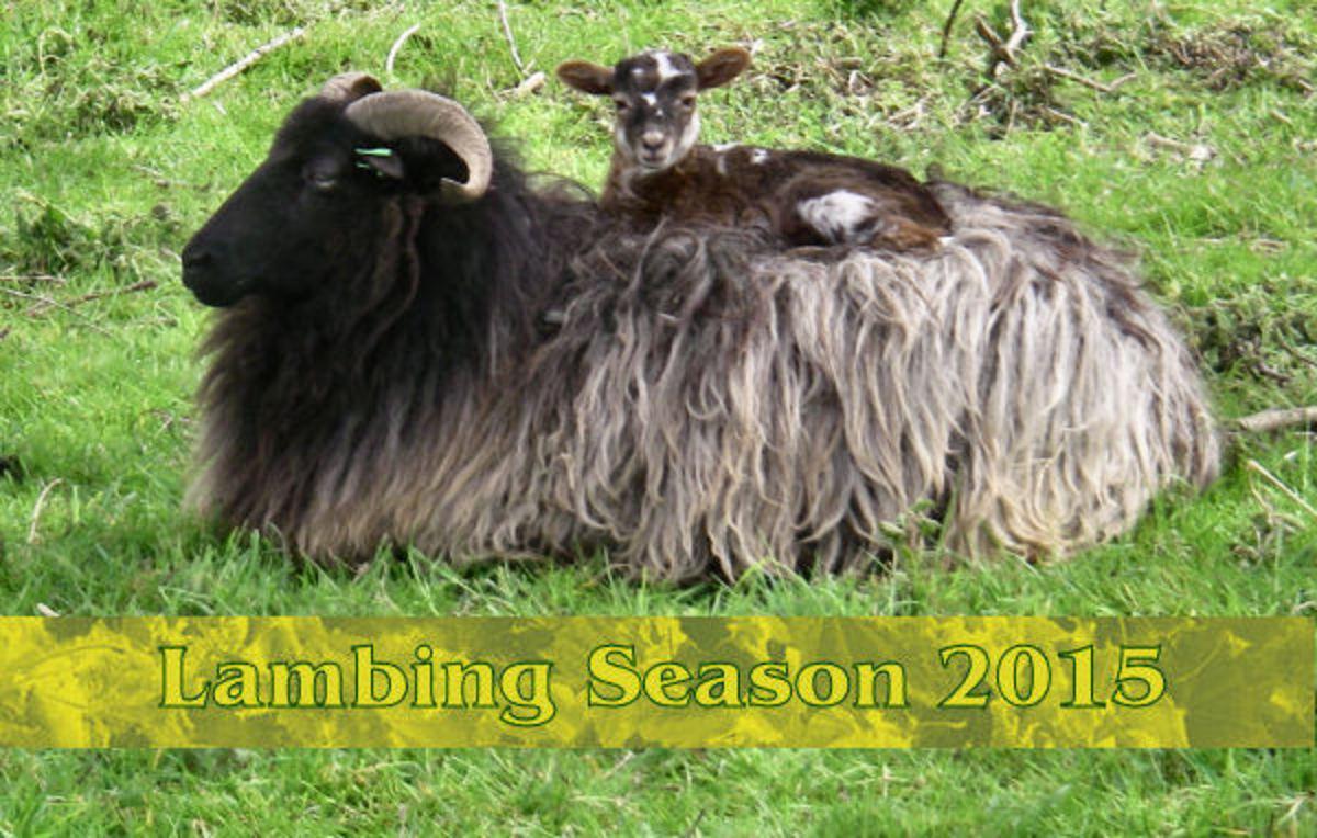 * Lambing Season 2015