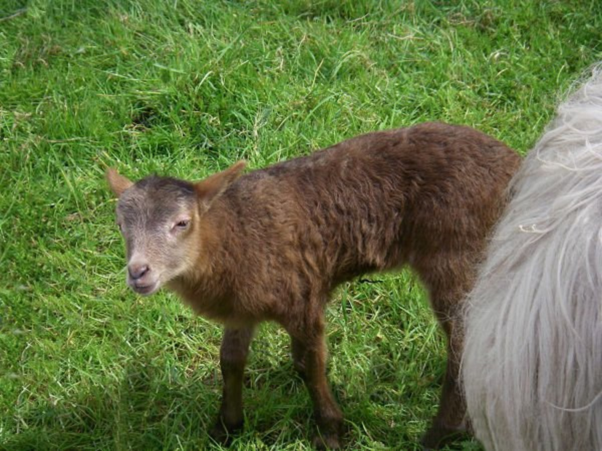 Lamb Sockii is changing its color