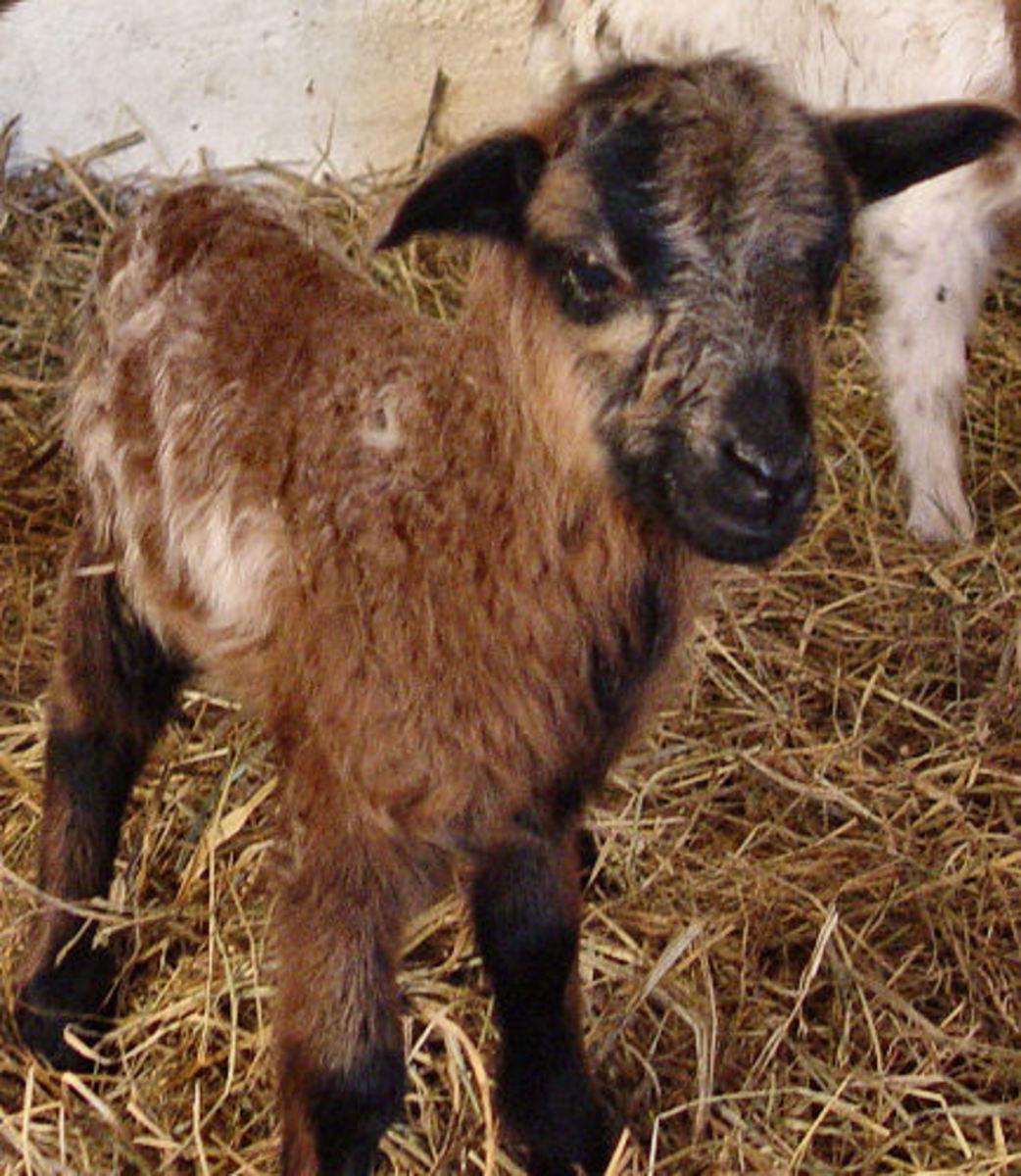 Badgerface colored lamb