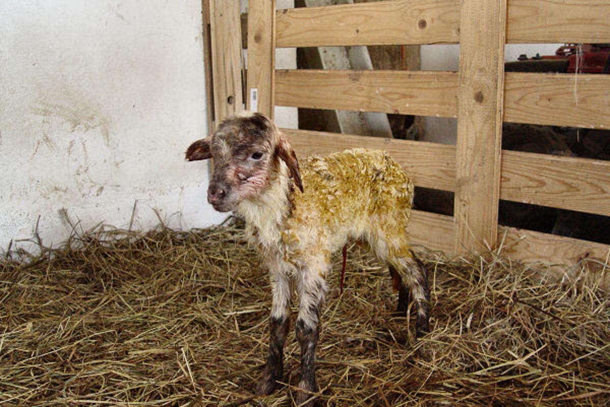 Beautiful Dark Fox Spotted lamb