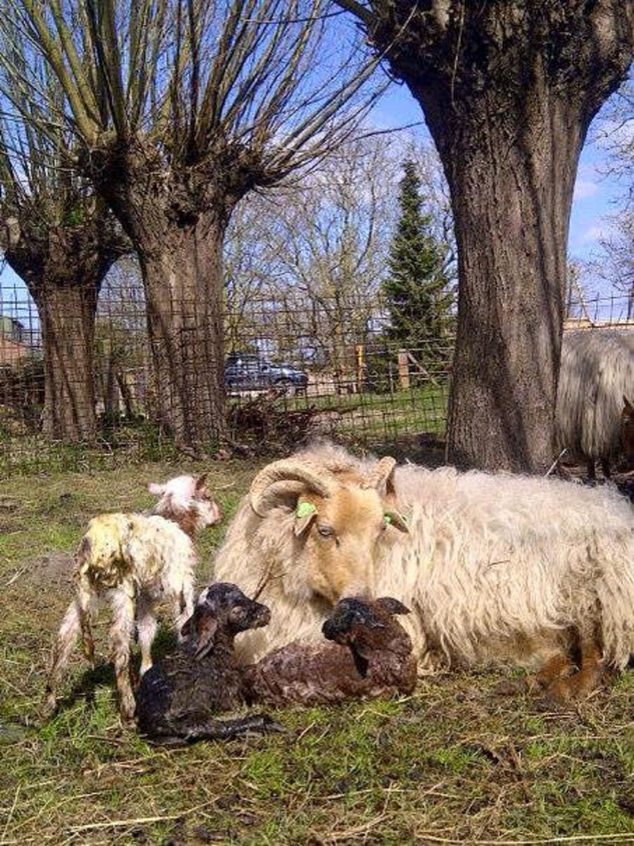 Just born Triplet Easter Lambs