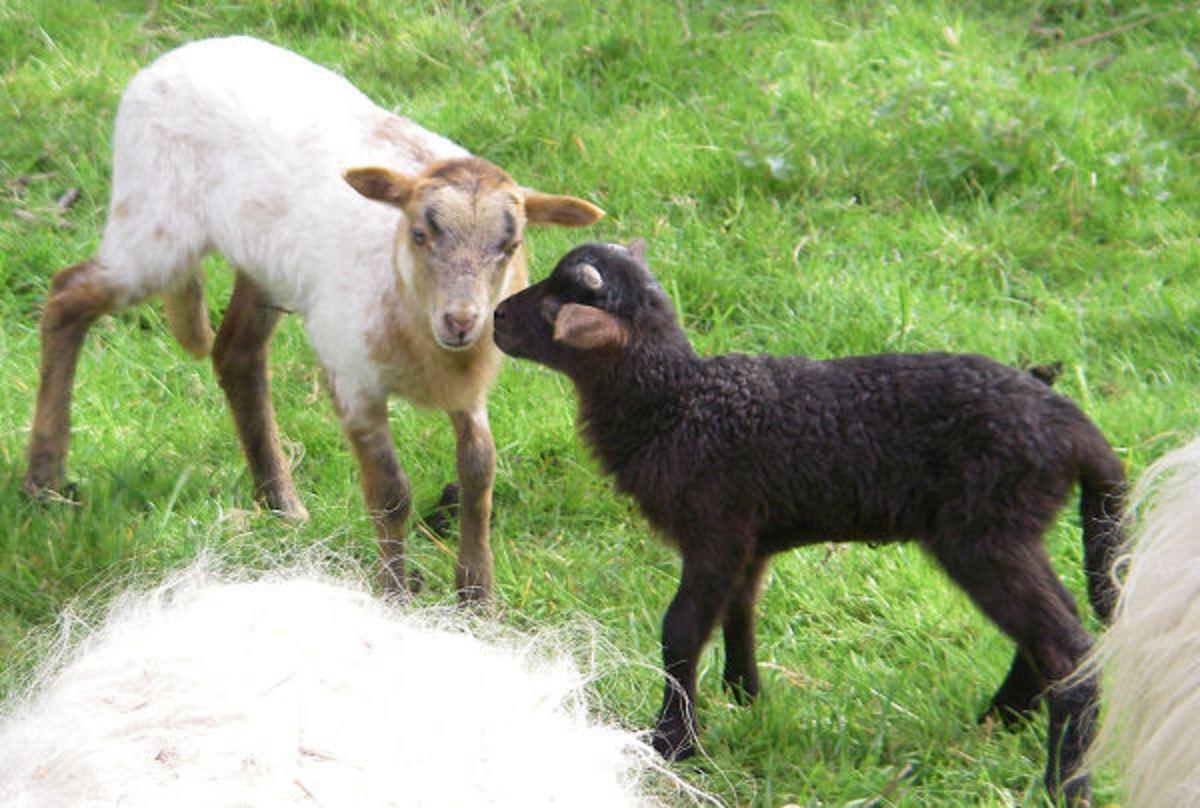 Lambs Smart&Fun and Solaras