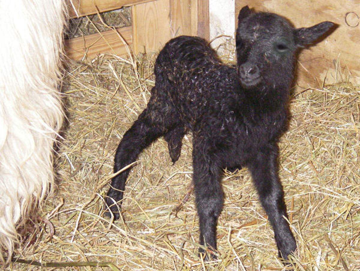 Newborn black Drenthe Heathe Sheep lamb