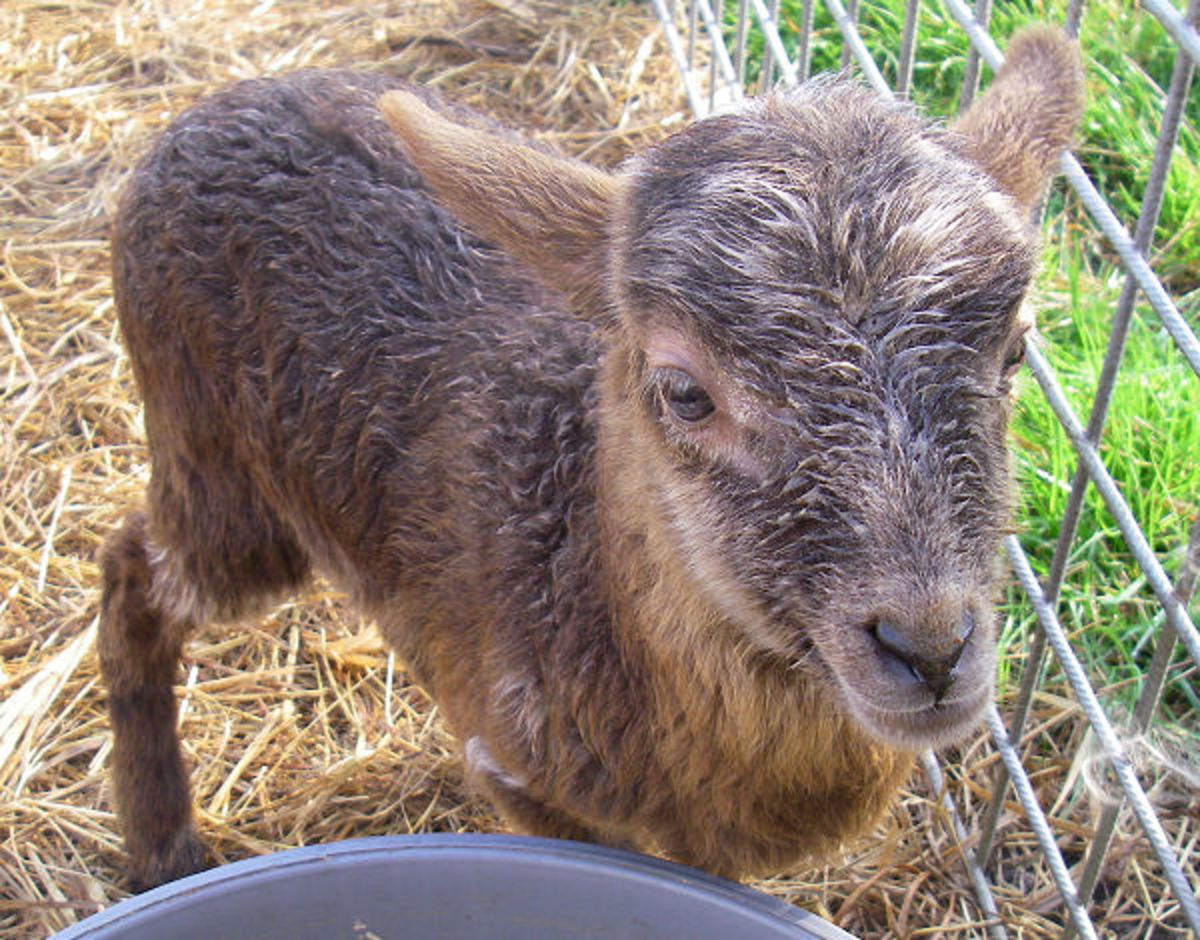 Lamb Favored Fay at the age of 3 weeks old