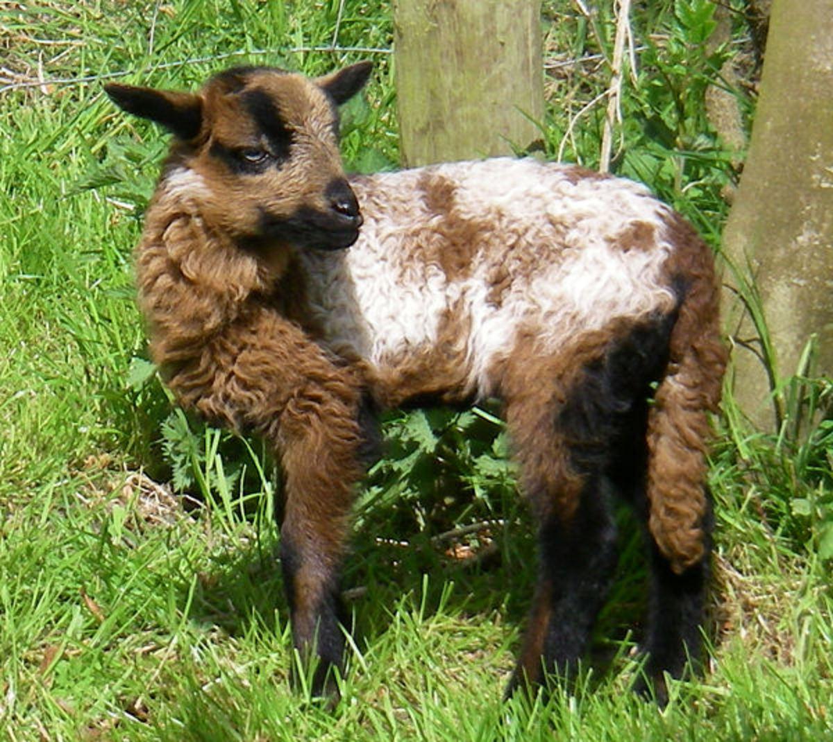 A beautiful lady lamb
