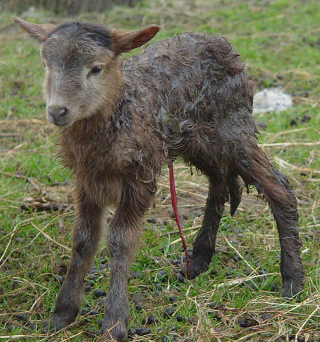 Beautiful lamb in a greyish/brown color